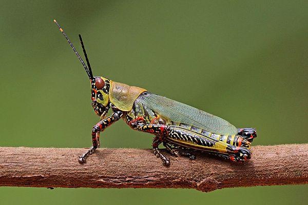 Африканский пестрый кузнечик (African Variegated Grasshopper)