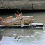 Рыба-амфибия: 9 рыб, которые могут дышать на суше