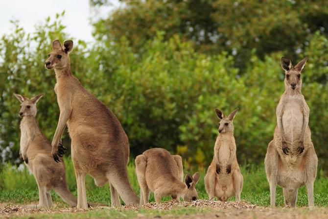 Различные виды кенгуру