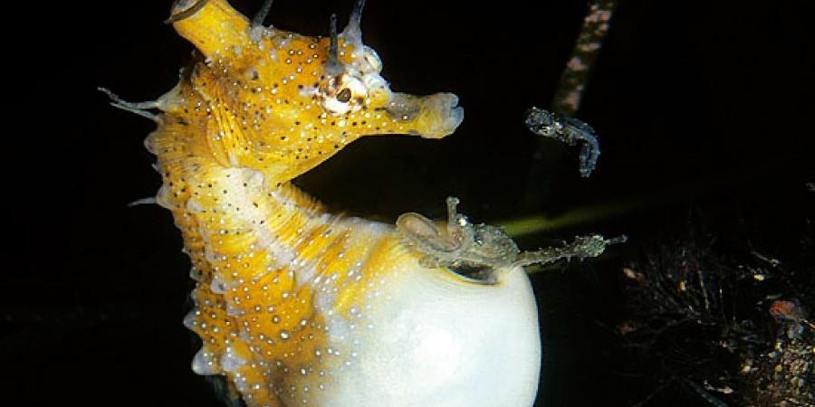 Интересные Факты О Морских Коньках