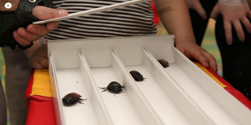 Гонки тараканов в Брисбене