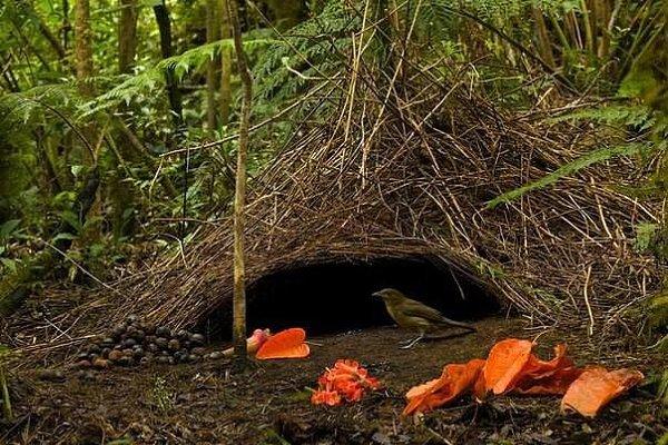 Вогелькопский беседковый шалашник (Amblyornis inornata)