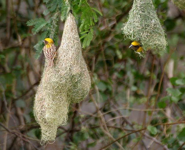 Ткач-байя или Индийский ткачик (Ploceus philippinus)