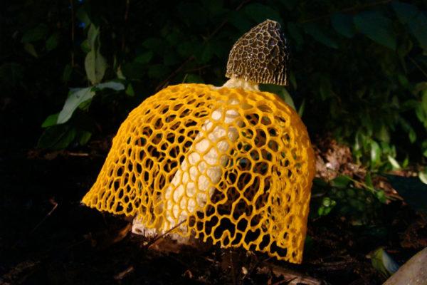 Вуалевые грибы-вонючки