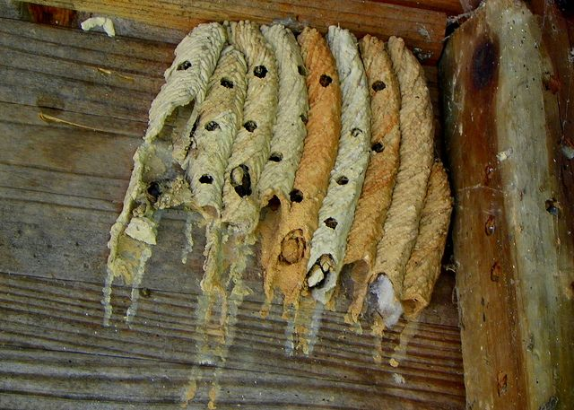 Грязевые осы