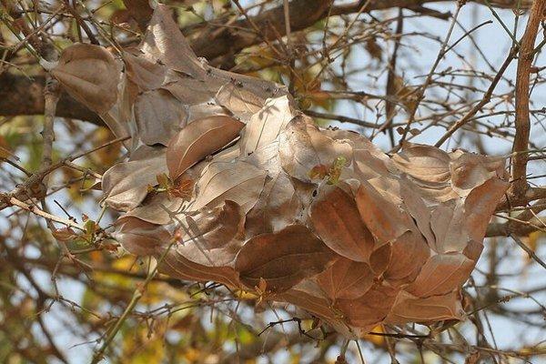 Муравьи-портные или муравьи-ткачи (Oecophylla)