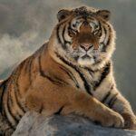 Самые большие хищные кошки в мире