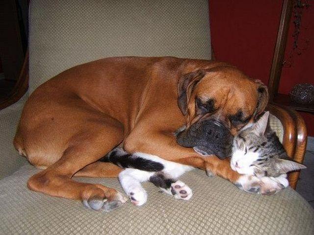 Породы собак, которые ладят с кошками: Боксер