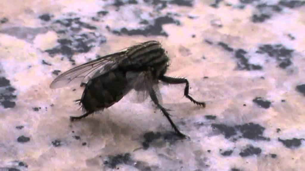 муха без головы
