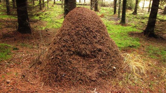 Европейский красный лесной муравей