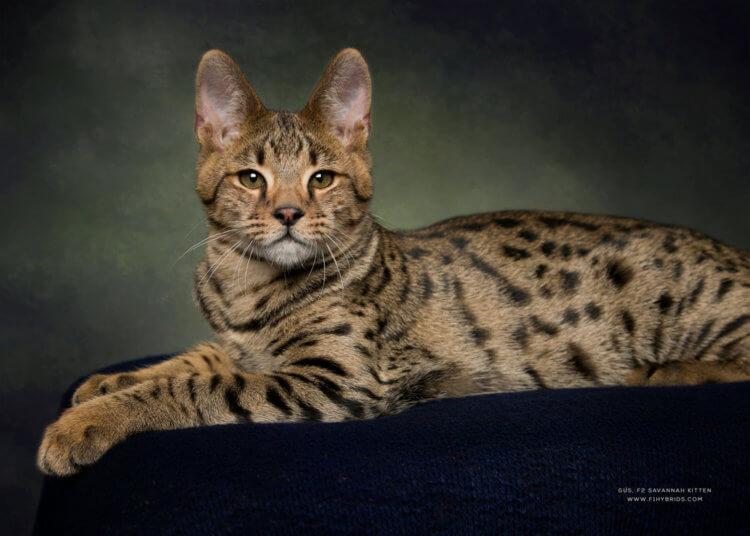 Саваннская кошка