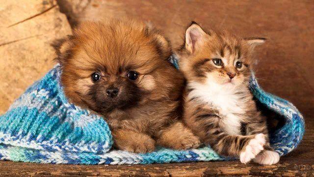 Породы собак, которые ладят с кошками: померанский шпиц