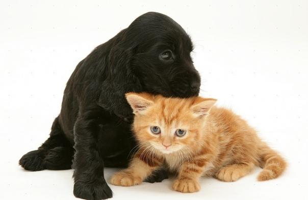 Породы собак, которые ладят с кошками: спаниели