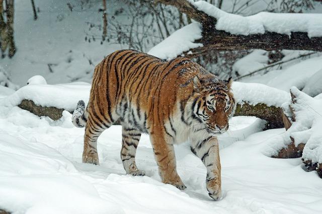 Сибирский (амурский) тигр