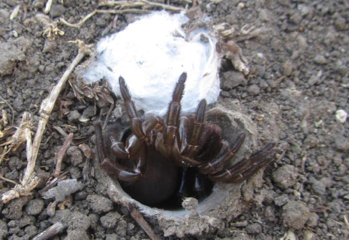 Паук ктенизид (Ctenizidae)