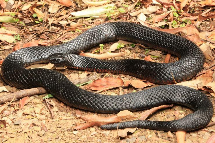 Джунгли Папуа-Новой Гвинеи: папуасская черная змея