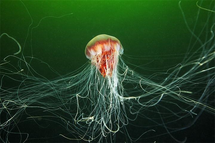 Медуза львиная грива (Волосистая цианея)