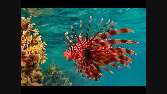 Красная рыба-крылатка