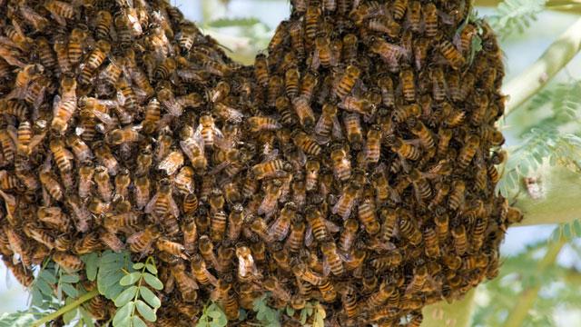 Африканизированная медоносная пчела