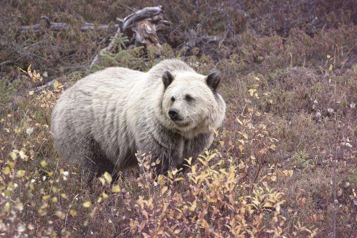 Медведь гролар (полярный гризли)