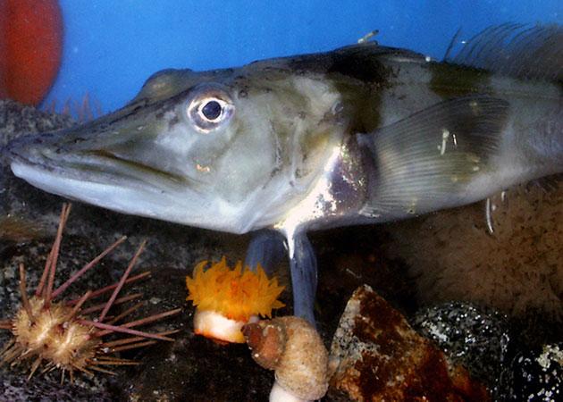 Ледяная рыба