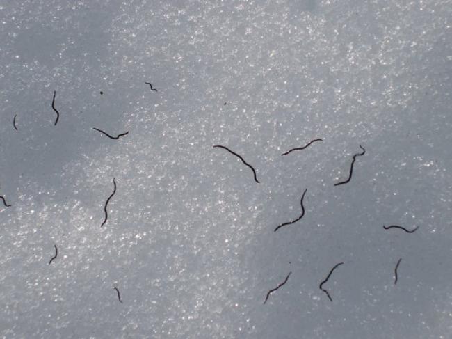 Ледяной Червяк
