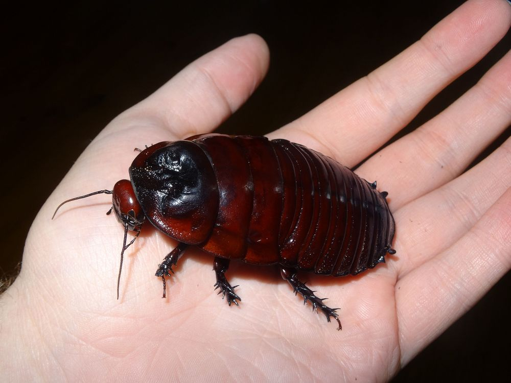 Джунгли Папуа-Новой Гвинеи: Гигантский роющий таракан