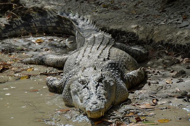 Джунгли Папуа-Новой Гвинеи: морской крокодил