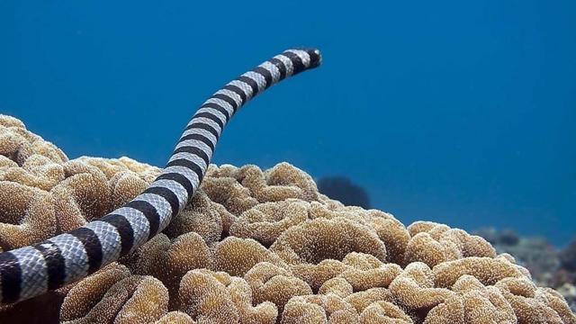 Морской крайт или большой плоскохвост