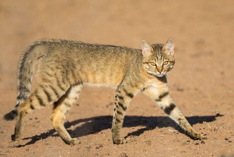 Африканская дикая кошка