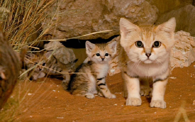 Барханный кот (песчаный кот)