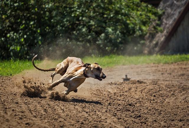 Борзая - самые быстрые животные