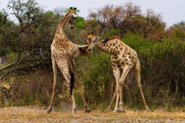 Жирафы дерутся