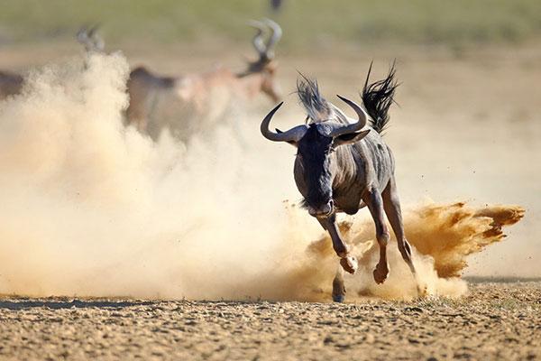 Антилопа Гну - самые быстрые животные