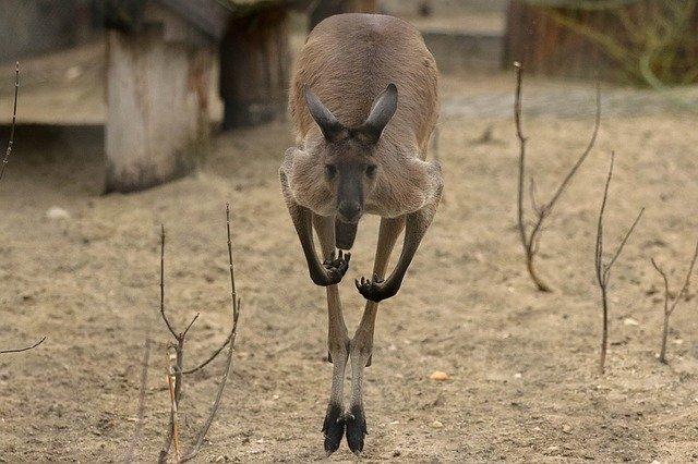 Кенгуру - самые быстрые животные