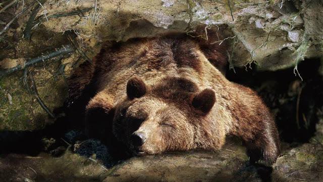 Медведи - животные впадают в спячку