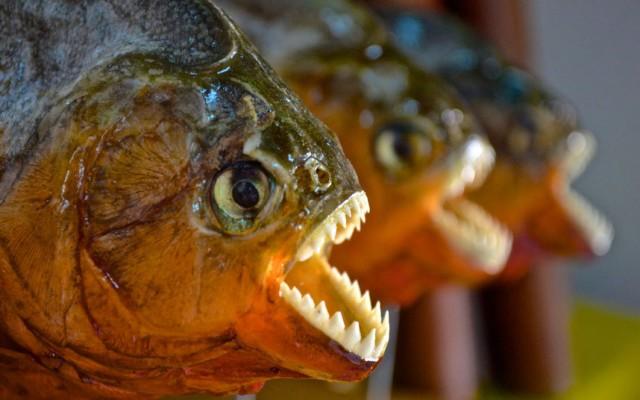 Не ешьте плотоядных рыб в Бразилии