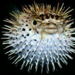 4 Вида Ядовитых Рыб, Которые Не Нужно Есть