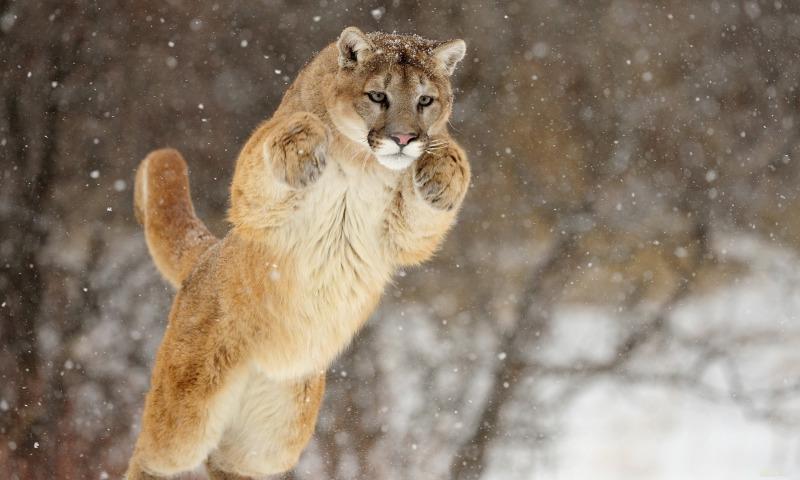 Пума - самые быстрые животные