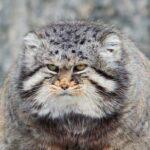 10 Редких И Красивых Диких Кошек