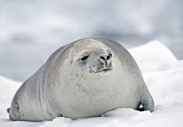 Тюлени-крабоеды