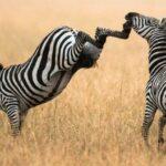 У какого животного самый сильный удар ноги