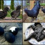 Аям Цемани: самая дорогая Курица в мире