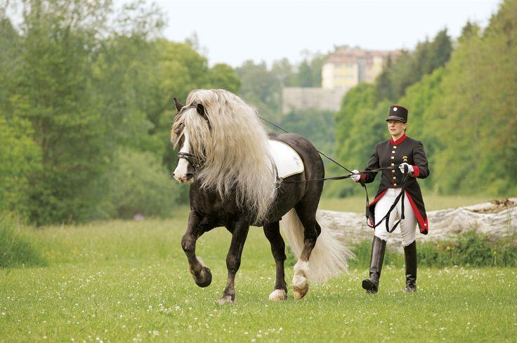 Шварцвальдская лошадь