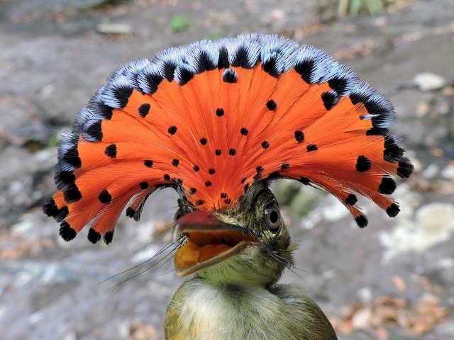 Амазонский венценосный мухоед