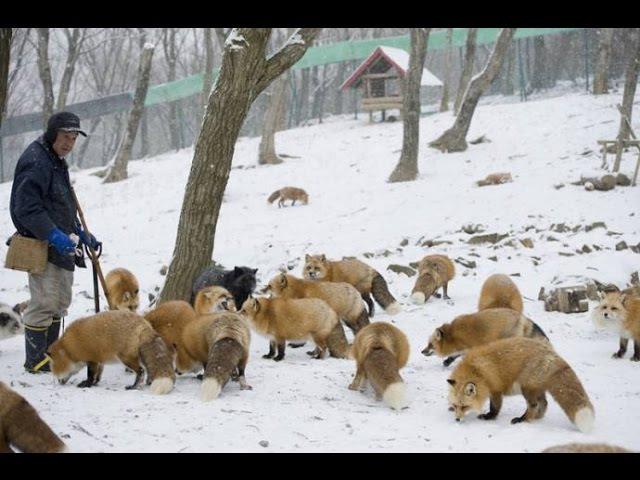 Деревня лисиц (Fox Village)