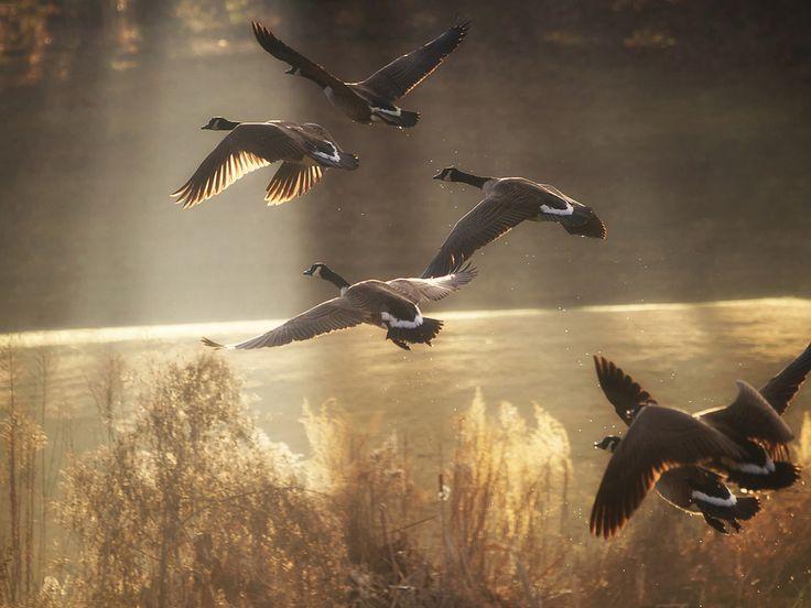 Летящие птицы приведут к воде