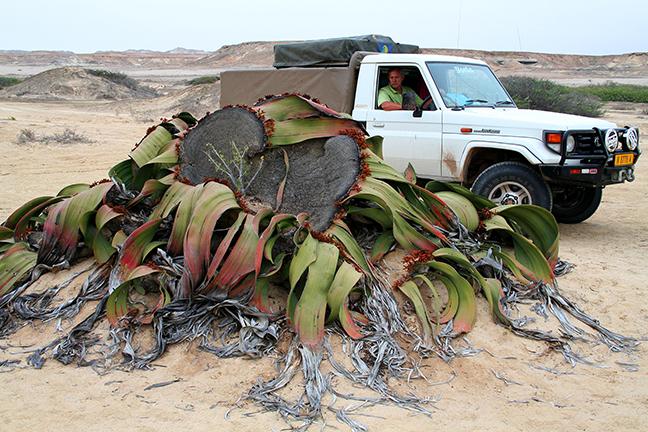Вельвичия (Welwitschia)