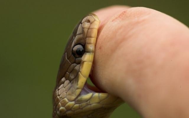 Можно высосать змеиный яд