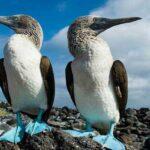 Интересные факты о голубоногих олушах